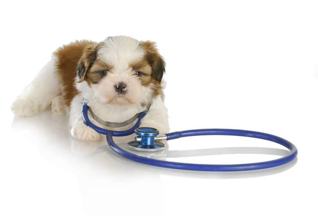 A Shih Tzu dog with a stethoscope. As if trying to discuss a rather critical issues as How to prolong the life of your pet