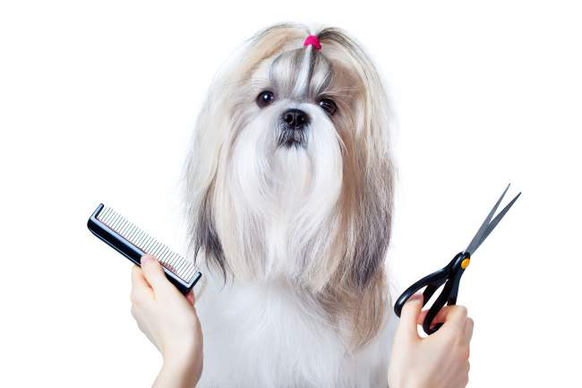 Best Clippers for Shih Tzu. A cute Shih Tzu waiting to be groomed, but supposedly asking... where is the my Shih Tzu clipper?
