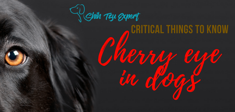 Cherry eye in dogs – Can this be treated without Expensive surgery? find out here…