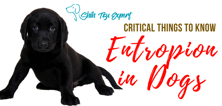 Entropion in Dogs – Don't panic this is easily treatable! [But make sure you check the followup advice here!]