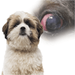 Red eye in Shih Tzu dogs – Critical things to know, complications and Treatments