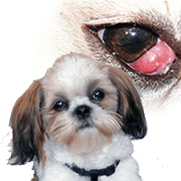 Shih Tzu eye problems – Critical things you MUST Know about your pet!