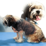 Shih Tzu skin problems – It could simply be that you are bathing your dog too often?