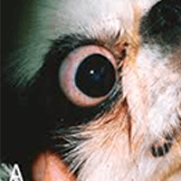 Trichiasis in dogs – The best options for treating and looking after a dog with this condition…