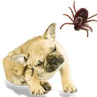 Fleas and Ticks on dogs