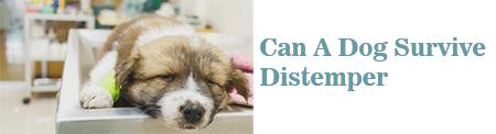 Can A Dog Survive Distemper