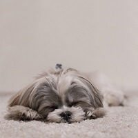 Hair loss in Shih Tzu – Serious condition that needs to be treated early!!!