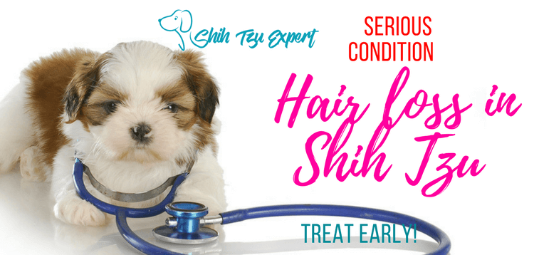 Hair loss in Shih Tzu – Serious condition that needs to be treated early!