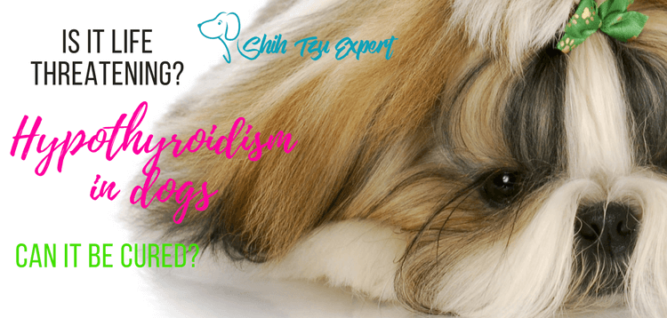 Hypothyroidism in dogs – Is it life threatening? Can it be cured?