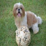 Shih Tzu Toys – Your pet has ONLY a very few possessions!