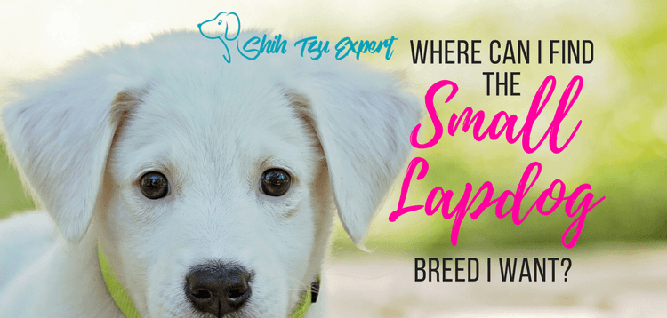 Small Lapdog : Where can I find the lapdog breed I want?