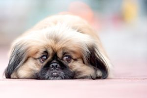 What happens in cases of severe separation anxiety in dogs