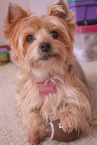 Best Dog Clippers for Yorkie