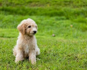 What are the Top 7 Best Dog Clippers for Goldendoodles in 2018
