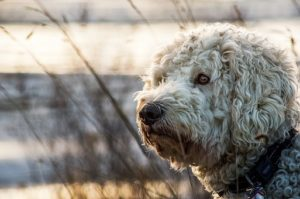 What extra grooming tools would you recommend for grooming Goldendoodles?
