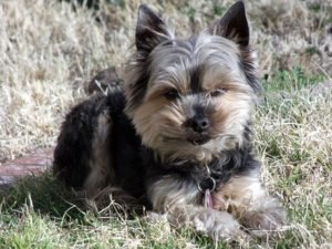 What to Expect IF Grooming a Yorkie at Home?