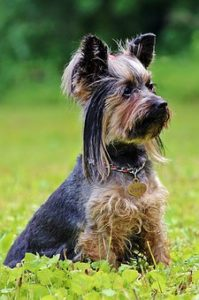 What extra grooming tools would you recommend for grooming a Yorkie?