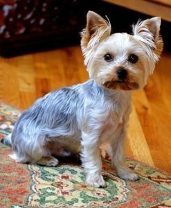 How to groom an Aggressive Yorkie?